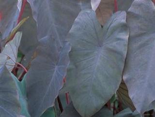 Picture of Colocasia Black Magic