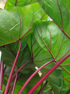 Picture of Colocasia Hawaiian Punch