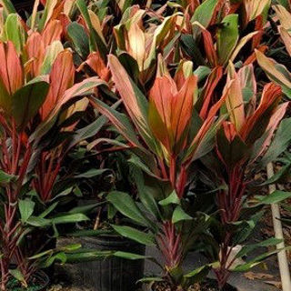 Picture of Cordyline Jackie