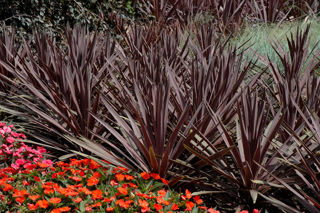 Picture of Cordyline Red Sensation