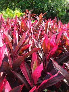 Picture of Cordyline Red Sister