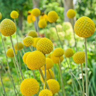 Picture of Craspedia Billy Buttons