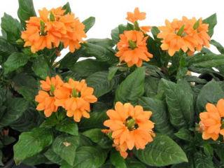 Picture of Crossandra Orange Marmalade