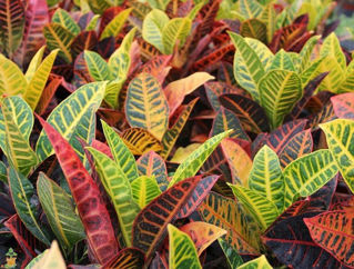 Picture of Croton Petra