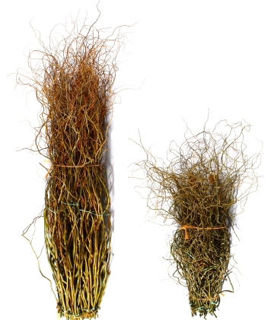 """Picture of Curly Willow Medium Green 48""""-60"""""""