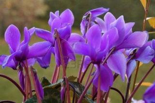 Picture of Cyclamen Purple/Lavender