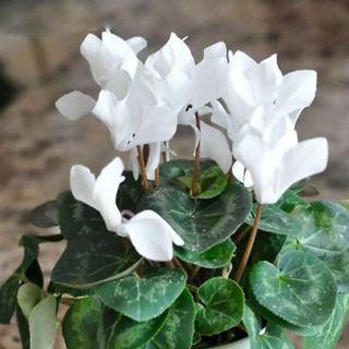 Picture of Cyclamen White