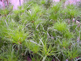 Picture of Cyperus Papyrus Prince Tut