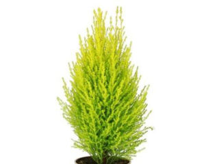 Picture of Cypress Lemon