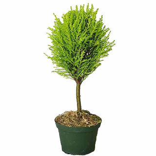 Picture of Cypress Lemon Topiary