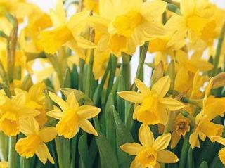 Picture of Daffodil Tete A Tete