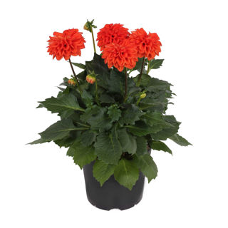 Picture of Dahlia Labella Grande Deep Orange