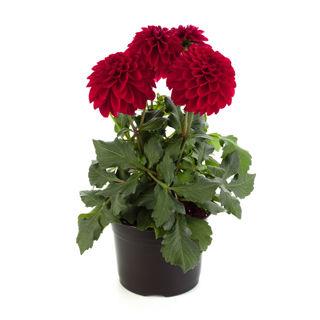 Picture of Dahlia Labella Grande Red