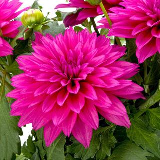 Picture of Dahlia Labella Maggiore Deep Rose