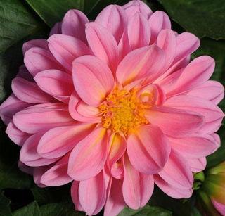 Picture of Dahlietta Lily