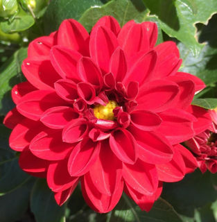 Picture of Dahlietta Tessy Red