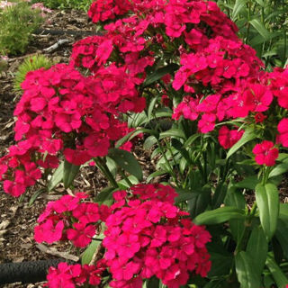 Picture of Dianthus Jolt Cherry