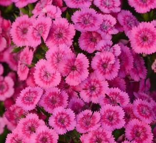 Picture of Dianthus Jolt Pink