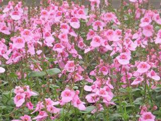 Picture of Diascia Darla Light Pink