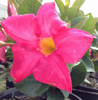 Picture of Dipladenia Pink
