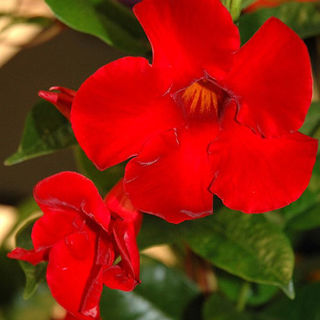 Picture of Dipladenia Red