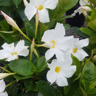 Picture of Dipladenia White