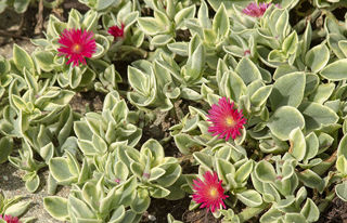 Picture of Dorotheanthus Mezoo Trailing Red