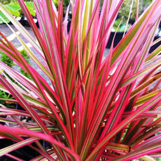 Picture of Dracaena Colorama