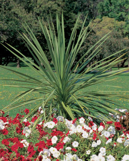 Picture of Dracaena Spike Indivisa