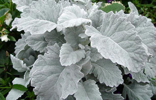 Picture of Dusty Miller Cirrus