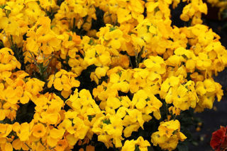 Picture of Erysimum Sugar Rush Yellow