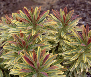 Picture of Euphorbia Ascot Rainbow