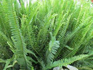 Picture of Fern Emerald Queen