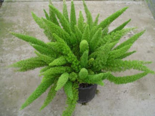 Picture of Fern Foxtail