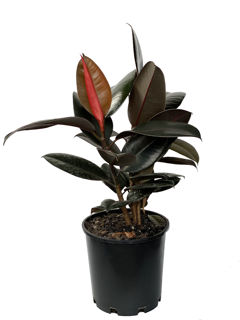 Picture of Ficus Burgundy