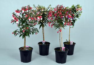Picture of Fuchsia Standard Asst