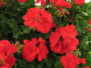 Picture of Geranium Americana Dark Red