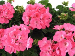 Picture of Geranium Americana Pink