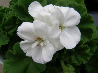 Picture of Geranium Americana White