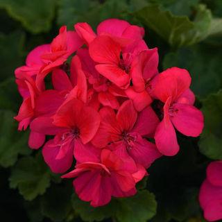 Picture of Geranium Moonlight Dk Fuchsia