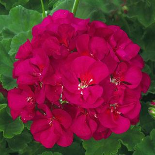 Picture of Geranium Patriot Bright Violet