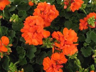 Picture of Geranium Patriot Orange