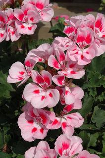 Picture of Geranium Presto Pink Sizzle