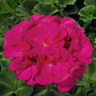 Picture of Geranium Sunrise Violet