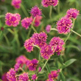 Picture of Gomphrena Truffula Pink