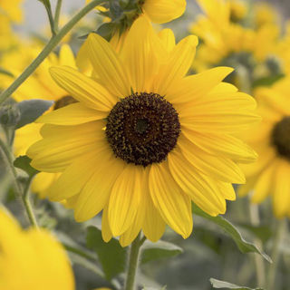 Picture of Helianthus Sunfinity