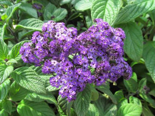 Picture of Heliotrope Fragrant Delight Blue