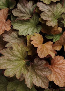 Picture of Heuchera Carnival Watermelon