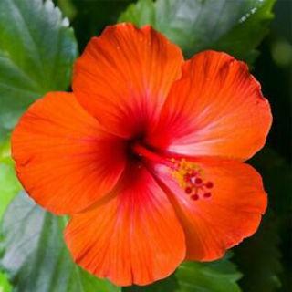 Picture of Hibiscus Orange