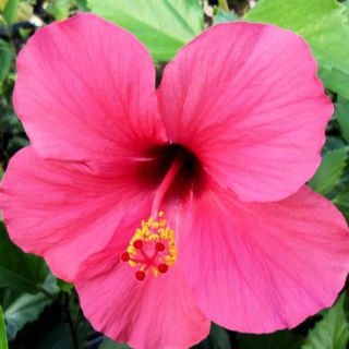 Picture of Hibiscus Pink